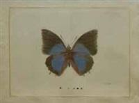 papillon bleu nuit by la roche laffitte