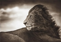lion before storm, close up, maasai mara by nick brandt