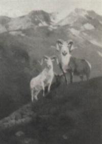stone sheep by douglas allen