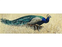 peacock in the drought, rajasthan by keith shackleton