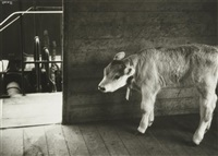 calf in rail stock car by ilse bing