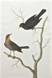 male and female blackbirds on branches by mary battersby