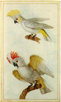 top: sulphur-crested cockatoo (cacatua galerita); bottom: salmon-crested cockatoo (cacatua moluccensis) by jean gabriel prêtre