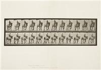 plate 599 from: animal locomotion by eadweard muybridge