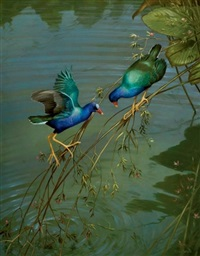 purple gallinules by michael jackson