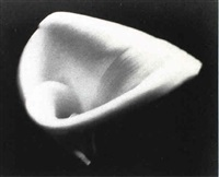 calla lily by kenneth a. linn