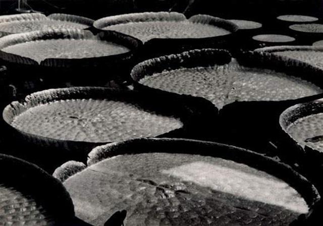 les victoria regia de la serre tropicale du jardin des plantes paris by daniel masclet