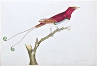 a king bird of paradise by mary battersby