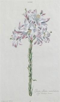 lilium album maculatu by johann michael seligmann