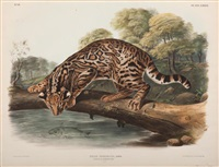 ocelot by john woodhouse audubon