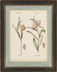 studies of fritillaria (+ 3 others; 4 works) by johann michael seligmann