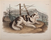 hare indian dog by john woodhouse audubon