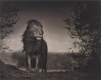 lion before storm i by nick brandt