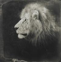 le lion by nick brandt
