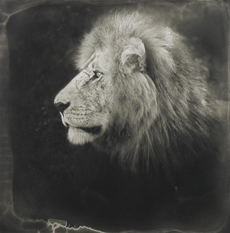le lion by nick brandt