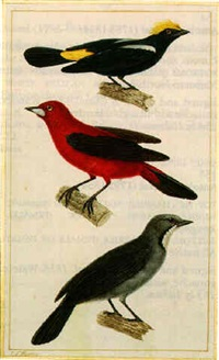 top: fulvous-crested tanager (tachyphonus surinamus); middle: crimson-backed tanager (ramphocelus dimidiatus); bottom: greyish saltator (saltator coerusescens) by jean gabriel prêtre