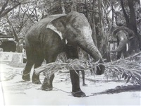 eléphants enchaînés by patrice serres
