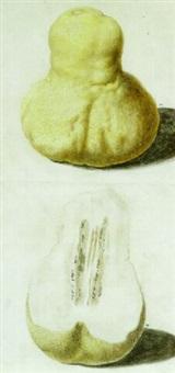 two citrus medica by vincenzo leonardi