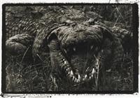 large crocodile, 15-16 feet, uganda (leviathan) by peter beard