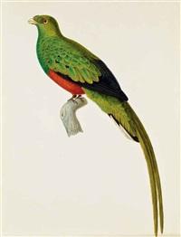 couroucou pavonin dit trogon pavoninus by jean gabriel prêtre