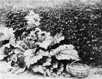 rhubarb leaves and basket under a hornbeam hedge by john dillwyn llewelyn