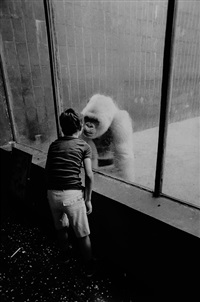 le gorille albinos du zoo de barcelone by michel ginies