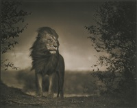 lion before storm i, masa mara by nick brandt