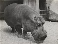 vincennes zoo. paris. hippopotame by lisette model