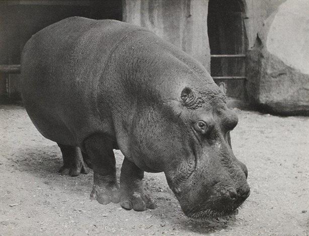 vincennes zoo paris hippopotame by lisette model