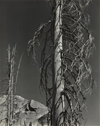 trees, lake tenaya by edward weston
