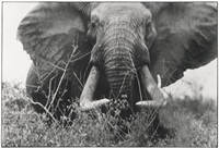 the last of the big tuskers (circa 150-160 lbs per side) by peter beard