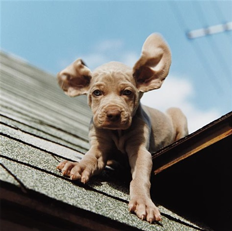 flying dumbo by william wegman