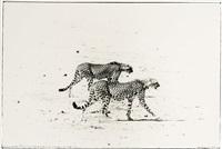 hunting cheetahs on the taru desert, kenya, june 1960 by peter beard