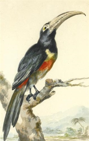 a toucan (pteroglossus aracari) on a branch by aert schouman