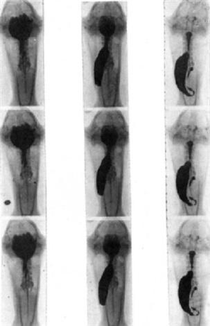 radiochronophotographie de la digestion de la grenouille by jean ch roux balthazard