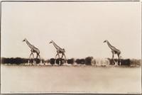giraffes in mirage on the taru desert, kenya, june for the end of the game by peter beard