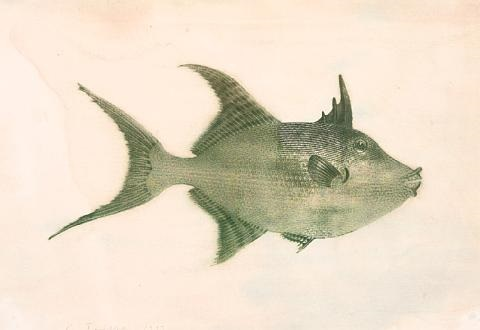 smaller singular fish balistes vetula by philip taaffe