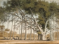 a banian tree in mr sultan shamier's garden at marmalong by john gantz