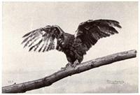 un rapace (german buzzard?) (study) by ottomar anschutz