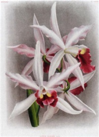 lindenia: iconographie des orchidées by jean jules linden