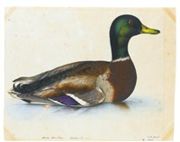 portrait of a mallard; together with a portrait of a quail (2 works) by christopher (rev.) atkinson
