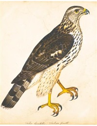 portrait of a falcon gentle; together with a portrait of a hen harrier (2 works) by christopher (rev.) atkinson