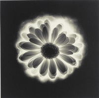 gerber daisy by robert mapplethorpe