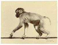 morphologique d'un primate (study) by ottomar anschutz