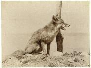 renard roux by ottomar anschutz