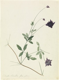 clematis, duftwicke (+ another, similar; 2 flower studies) by josef knapp