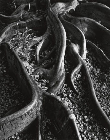 roots foster gardens honolulu hawaii 2 others 3 works by ansel adams