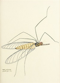 ardo culicidae by walter spies