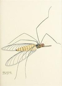 ardo culicidae by walter spies