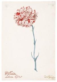a carnation: hollandia liberata by zacharias blyhooft